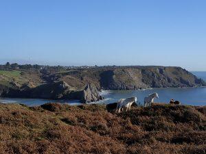 Ponies conservation grazing Penmaen Burrows above three cliffs bay pont cymru