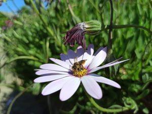 Dolau dyfi pollinator survey leafcutter